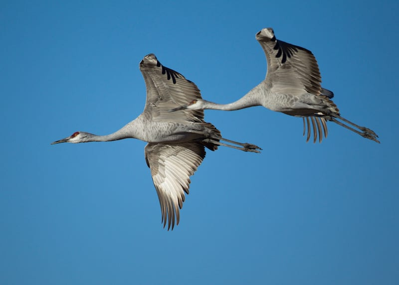 Sandhill Crane flying. Photo By Manjith Kainickara https://commons.wikimedia.org/w/index.php?curid=12140823